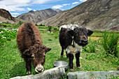 Yak calves, between Padum and Phuktal, Zanskar Range Traverse, Zanskar Range, Zanskar, Ladakh, India