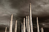 Saguaro Cactus and Dramatic Gray Sky, Low Angle View, Sonora Desert, Arizona, USA