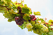 Red and white grapes, view from below, near Freiburg im Breisgau, Black Forest, Baden-Wurttemberg, Germany