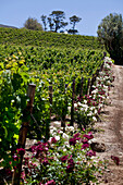 View onto the vineyards of Buitenverwachting, Constantia, Cape Town, Western Cape, South Africa, RSA, Africa