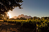 View onto the vineyards of Bellingham Winery with Mountain Simonsberg, Stellenbosch, Cape Town, Western Cape, South Africa, RSA, Africa