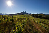 View onto the vineyards of Warwick Winery against Simonsberg, Stellenbosch, Western Cape, South Africa