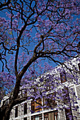 Typical Jacaranda tree in Stellenbosch, Western Cape, South Africa