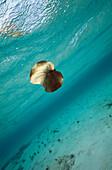 Leaf sinking underwater in lagoon, Bloody Bay, Little Cayman