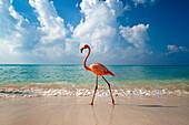 Flamingo walking along beach, Bayahibe, Dominican Republic