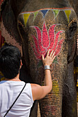 Western woman patting elephant at Amber Fort, Close Up, Near Jaipur, Rajasthan, India