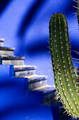 Details of a cactus with blue steps in the background in Majorelle Gardens, Marrakesh, Morocco