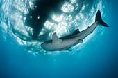 Whale Shark underneath Fishing Platform called Bagan, Rhincodon typus, Cenderawasih Bay, West Papua, Papua New Guinea, New Guinea, Oceania