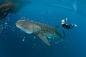 Whale Shark and Freediver, Rhincodon typus, Cenderawasih Bay, West Papua, Papua New Guinea, New Guinea, Oceania