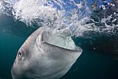 Feeding Whale Shark, Rhincodon typus, Cenderawasih Bay, West Papua, Papua New Guinea, New Guinea, Oceania