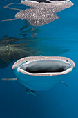 Whale Shark, Rhincodon typus, Cenderawasih Bay, West Papua, Papua New Guinea, New Guinea, Oceania