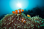 Family of Clown Anemonefish, Amphiprion ocellaris, Cenderawasih Bay, West Papua, Papua New Guinea, New Guinea, Oceania