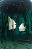 Batfish underneath Jetty, Platax teira, Cenderawasih Bay, WestPapua, Papua New Guinea, New Guinea, Oceania