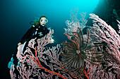 Scuba Diver and Seafan, Melithaea sp, Cenderawasih Bay, WestPapua, Papua New Guinea, New Guinea, Oceania