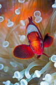 Spinecheek Clownfish in white Bubble Tip Sea Anemone, Premnas aculeatus, Entacmaea quadricolor, Cenderawasih Bay, WestPapua, Papua New Guinea, New Guinea, Oceania