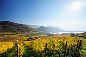 Vineyard in autumn colours above lake Kalterer See, lake Kalterer See, South Tyrol, Italy, Europe