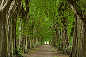 Hornbeam alley in idyllic landscape, Hagenow, Mecklenburg-Western Pomerania, Germany, Europe