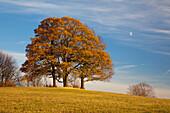 Oak trees in autumn, Wernigerode, Harz mountains, Saxony-Anhalt, Germany, Europe