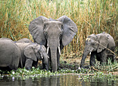 African Elephants drinking from Shire River, Liwonde National Park, Malawi