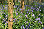 Bluebells in woodland at Duncliffe Wood, North Dorset, England