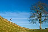 Man walking along Hadrian's Wall, Northumerland, England, UK