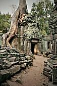Strangler fig tree covers temple ruin Ta Phrom, Khymer Empire, temples of Angkor,  UNESCO world heritage, Siem Reap, Cambodia