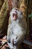 Monkey at the Gunung Leuser National Park near Bukit Lawang in N, Island of Sumatra, Indonesia, Southeast Asia