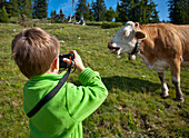 Boy photographing a cattle on a meadow, Hofbauern-Alm, Kampenwand, Chiemgau, Upper Bavaria, Germany