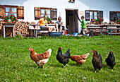 Chickens on a meadow, Hofbauern-Alm, Kampenwand, Chiemgau, Upper Bavaria, Germany