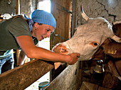 Woman stroking a cattle, Hofbauern-Alm, Kampenwand, Chiemgau, Upper Bavaria, Germany