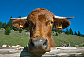 Cattle, Hofbauern-Alm, Kampenwand, Chiemgau, Upper Bavaria, Germany