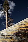 Giant tree in the Tioga Pass area, Yosemite National Park, California, USA