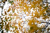 autumn, background, backlit, branch, brown, Color image, day, detail, faded, horizontal, leaf, natural, nature, outdoor, plant, season, tree, withered, B75-1003559, AGEFOTOSTOCK