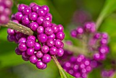 Callicarpa giraldii ´Proffusion´ also called the beauty bush