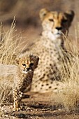 Cheetah Acinonyx jubatus - 39 days old male cub with its mother in the background  Photographed in captivity on a farm  Namibia
