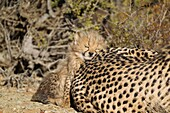 Cheetah Acinonyx jubatus - Tired 40 days old male cub next to its mother  Photographed in captivity on a farm  Namibia
