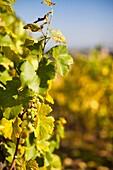 France, Bas-Rhin, Alsace Region, Alasatian Wine Route, Blienschwiller, vineyard detail, autumn