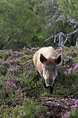 Wild Boar   Sus scrofa  family, suidae  order : artiodactyla.