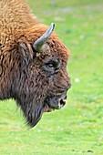 Wisent  EUROPEAN BISON  Bison bonasus  Order: Artiodactyla  Family: Bovidae.