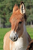 KIANG or Tibetan wild ass Equus kiang  Order: Perissodactyla Family: Equidae.