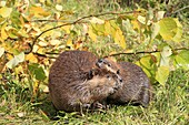 Beaver  Adult and young from the year  Castor fiber  Order : Rodentia  Sub-order : Sciuromorpha  Family : Castoridae.