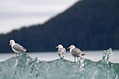 Alaska, Inside passage, Tracy Arm, Glaucous-winged Gull Larus glaucescens  on a piece of ice Order :Charadriiformes Family : Laridae