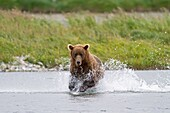 Alaska, Katmai National Park and Preserve, McNeil River Bear Viewing and Wildlife Sanctuary, Grizzly bear  Ursus arctos horribilis, family : ursidae, order : carnivora