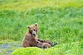 Alaska, Katmai National Park and Preserve, McNeil River Bear Viewing and Wildlife Sanctuary, falls of the Mc Neil river, Grizzly bear  Ursus arctos horribilis, female nursing the babies, family : ursidae, order : carnivora