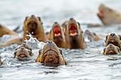Northern Sea Lion Eumetopias jubatus Order : carnivora family : Otariidae