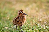 -Falkland Islands, Sea LIon island, Magellanic snipe or South American Snipe Gallinago paraguaiae magellanica, young, Order : Charadriiformes, Family : Scolopacidae