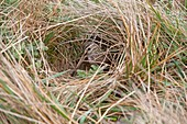 Falkland Islands, Sea LIon island, Magellanic snipe or South American Snipe  Gallinago paraguaiae magellanica  Order : Charadriiformes Famille : Scolopacides