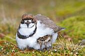 Falkland Islands, Sea LIon island, Two banded Plover, Charadrius falklandicus, Order:Charadriiformes Family: Charadriidae