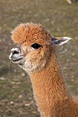 Alpaca Lama pacos - New York - USA - A domesticated South American hoofed mammal related to the llama - Believed to be a variety of the guanaco - Its long soft silky fleece is used for yarn and fabric - 5 ft 1 5 m total height and 3 5 1 1 m length