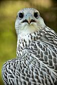 Gyrfalcon - Falco rusticolus - Juvenile - Captive - Wyoming.